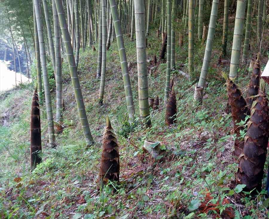 bosco di bambù con germogli che spuntano