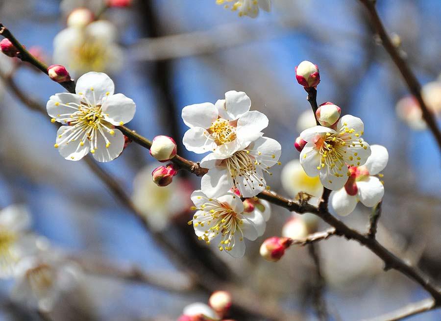 fiori di ume